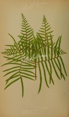 gleichenia rupestris (L)      ...