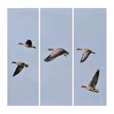 Liven up the walls of your home or office with Bird wall art from Zazzle. Check out our great posters, wall decals, photo prints, & wood wall art. Bird Wall Art, Wall Art Decor, Triptych Wall Art, Flying Geese, Illusions, Wall Decals, Prints, Poster, Animals