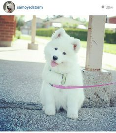 Samoyed puppy!! <3 Pic from @samoyedstorm on Instagram