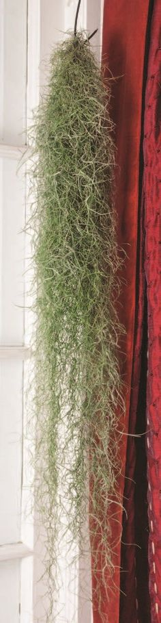 Spanish Moss (Tillandsia usneoides) normally found growing in trees in the south. This moss is an epiphytic plant that absorbs water from the air and rainfall. Exotic Plants, Tropical Plants, Cactus Plants, Indoor Plants Online, Plants For Sale Online, Pitcher Plant, Spanish Moss, Hardy Plants, Plant Sale