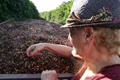 Brazil Exports the 30% of Coffee Worldwide and Surely the Coffee to be Found has the Most Body and more Sweetness from any other Bean in the World    Brazilian Fazenda Helena Farm    Brazilian Cerrado Mineiro