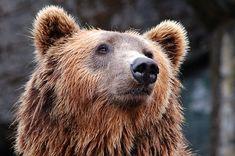Tier, Zoo, Bär, Braunbär