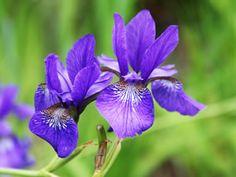 Violette Schwertlilie