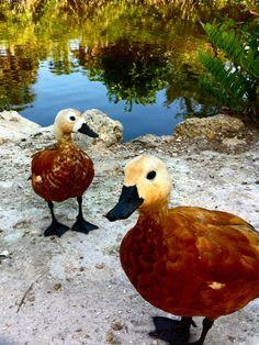 ducks in Sanibel Island, Florida