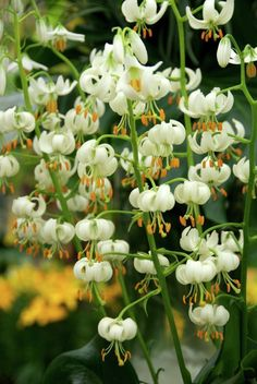 Lilium martagon var. album, White Turk's Cap Lily
