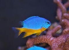 Se está com dúvidas quanto a que tipo de peixes adquirir, conheça estas variedades de peixes de água salgada :) #peixes #animais #aquário