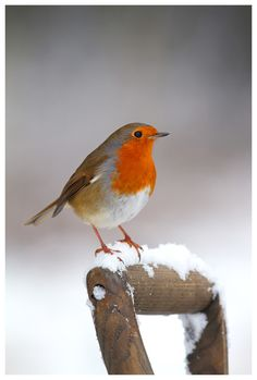 This delightful English Robin is getting ready for winter perched on a wooden shovel handle. I love his red breast in the shape of an inverted heart. Exotic Birds, Colorful Birds, Beautiful Birds, Animals Beautiful, Animals And Pets, Cute Animals, European Robin, Robin Redbreast, Photo Animaliere