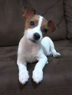 Jack Russell Terrier - A Dog in One Pack - Champion Dogs Cute Puppies, Cute Dogs, Dogs And Puppies, Doggies, Chihuahua Dogs, Baby Animals, Cute Animals, Jack Russell Puppies, Jack Russell Terriers