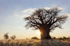 Ever wondered what trees can be found in Tanzania? We share the three most famous trees in Tanzania including the Acacia Tree, and more… Superfoods, Zanzibar Beaches, Baobab Tree, Tanzania Safari, Hiking Tours, African Countries, Growing Tree, Garden Trees, Trees And Shrubs