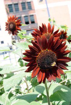 Sunflower Seeds - VELVET QUEEN - Helianthus Annuus - RARE - 10 Seeds #theseedhouse Rose Kennedy, Brown Flowers, Sunflower Seeds, Garden Inspiration, Garden Plants, Planting Flowers, Bloom, Velvet, Colours