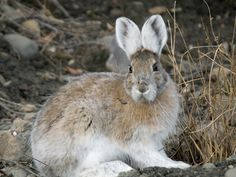 Snowshoe hares can't keep up with climate change