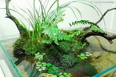 Posts about aquarium written by Querencia Planted Aquarium, Aquarium Terrarium, Aquatic Plants, Air Plants, Indoor Plants, Ikebana, Bonsai, Indoor Water Garden, Indoor Pond