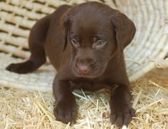 MMKennels.com - chocolate Lab pup