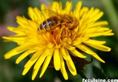 In French they call dandelions pissenlit - literally 'bedpissers', an homage to the plant's diuretic properties. Canning Tips, Canning Recipes, Dandelion Benefits, Lip Balm Labels, Farm Gardens, Edible Flowers, Allrecipes, How To Memorize Things, Bee