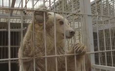 Abandoned Bear And Lion Move From War-Zone Zoo To Sanctuary | Care2 Causes | Wonderful news!