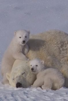 You're Going To Fall In Love With This Adorable Polar Bear Family, This Video Is Enchanting! (VIDEO) #bears #love #polarbear #adorable #family #animals #wildlife