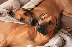 How typical, Rhodesian Ridgebacks. I certainly miss mine.