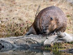 Beaver Trapping Tips!