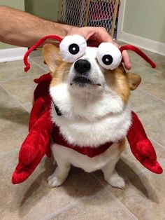 They're responsible for one-twelfth of this year's American lobster trade.   71 Reasons We Need To SAVE CORGIS FROM EXTINCTION