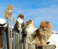 When it comes to Maine Coon Vs Norwegian Forest Cat both can make good pets but have some traits and characteristics that are different from each other Cute Kittens, Cats And Kittens, Gatos Maine Coon, Chat Maine Coon, Cat Club, Animals And Pets, Cute Animals, Animals Photos, Fluffy Animals