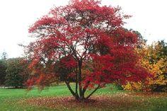 Amelanchier lamarckii tree in fall (central tree) Eco Garden, Garden Trees, Garden Plants, White Gardens, Farm Gardens, Landscaping Trees, Specimen Trees, Sloped Garden, Autumn Garden