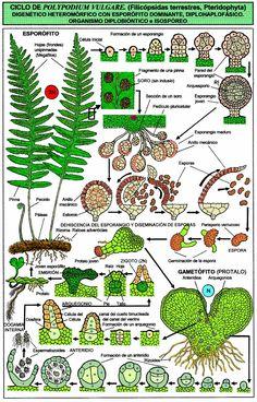 MARSILEA quadrifolia L. (trébol de cuatro hojas, marsílea) | Parc ...