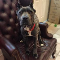 """Carina, which means """"little one"""" in Italian, is a petite #CaneCorso mastiff. At only 8-10 months old, this little sweetheart still needs to learn how wonderful life can be. She can be a little shy at first, but give her a few minutes to get comfy and you'll see what a darling she is! She's a cheerful girl - she's smitten with people, a friend to #dogs & cats, and would be a kid's best friend. She's a total catch! http://www.doggielife.com/carina/dogs/AV5806"""