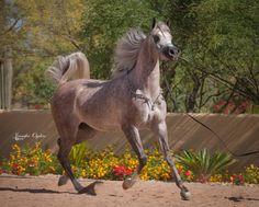 La Dolce Jullye :: Arabian Horses of Stonewall Farm
