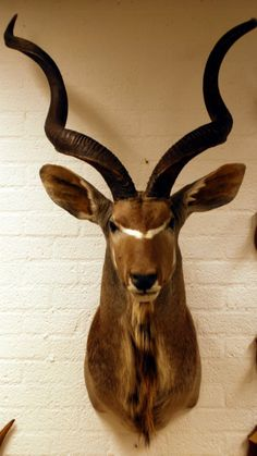 Kudu / koedoe: Grote opgezette kop van een kapitale kudu. - Opgezette dieren, Jachttrofeeen, geweien, dierhuiden, schedels. - de jong interieur