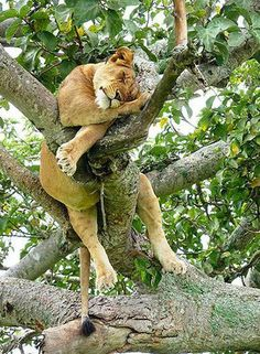 * * A GOOD NAP AFTER A HUGE MEAL IS REALLY THE THING TO DO. HOW DID THIS FELLA CRAWL UP INTO THE TREE WITH SUCH A HUGE BELLYFUL ?