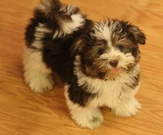 One of our cute havanese puppies
