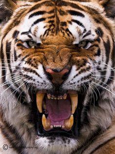 Amur Tiger – Be Afraid, Be Very Afraid! – Big Cat Photography The Amur tiger is king of all cats. Bengalischer Tiger, Angry Tiger, Bengal Tiger, Siberian Tiger, Angry Cat, Tiger Face, Tiger Head, Tiger Cubs, Bear Cubs