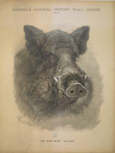 """""""The Wild Boar,"""" drawing by Friedrich Specht"""