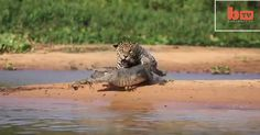 Jaguar Attacks Caiman Crocodile - CLOSE UP FOOTAGE  It is unbelievable that a jaguar can attack caiman crocodile. In this video, Sally Eagle who is a videographer captured the jaguar ambushes  ( video)    Read More  Click here http://www.theamazingimages.com/2015/09/jaguar-attacks-caiman-crocodile-close.html