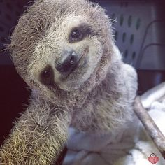 That Sloth Blog. — primatography: Newest addition to the KSTR sloth...