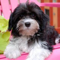 royal flush havanese black and white male havanese puppy.jpg 720×725 pixels
