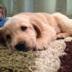 Golden retriever sweetness