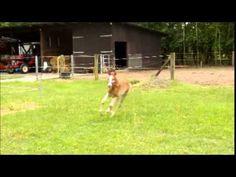 Einhufer-Unfall: Fohlen kollidiert mit Pferd  Mehr unter >>> http://a24.me/1o1pPbT