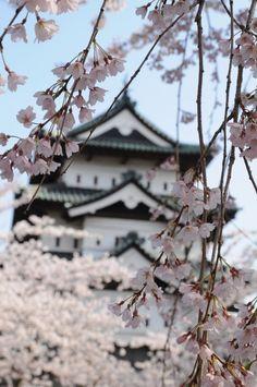 Hirosaki Castle cherry blossoms in full bloom, Aomori, Japan