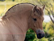 Norwegian Fjord is one of the world's oldest breeds of horses.