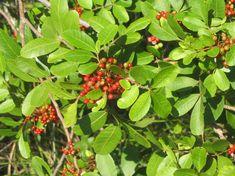 Os frutinhos da aroeira-vermelha, também chamada de aroeira-pimenteira, contêm um extrato com o poder de neutralizar bactérias resistentes a antibióticos