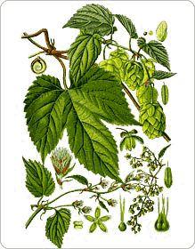 les 13 meilleures images du tableau herbier m dicinal sur pinterest herbier plantes. Black Bedroom Furniture Sets. Home Design Ideas