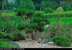 mountain pine, mugo pine (Pinus mugo subsp. mugo), topiary, Stock ... Mugo Pine, Stock Pictures, Stock Photos, Topiary, Photo Library, Vineyard, Garden, Plants, Mountain