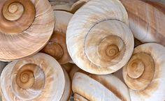 Spiral Shells 8194 jpg