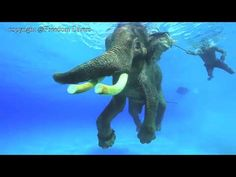 http://freedom-divers.com Footage of the unique dive experience of scuba diving with an elephant