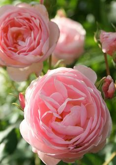 Aiken House & Gardens: Roses and Such!