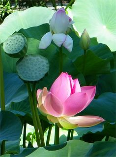 Lotus Garden, Lotus Plant, Exotic Flowers, Beautiful Flowers, Lotus Flower Wallpaper, Lily Painting, Rare Orchids, Pink Lotus, Blossom Flower