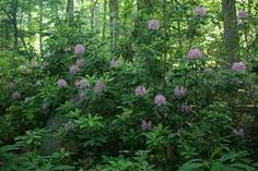 Image result for forest plants north america