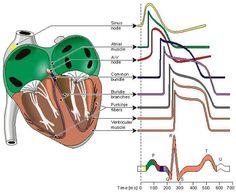Understanding heart rhythms