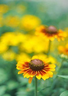 Daisy...daisy.